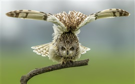 Preview wallpaper Owl want to flying, wings