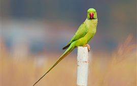 Preview wallpaper Parakeet, bird, stump