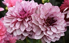 Preview wallpaper Pink dahlia, flowers, garden