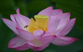 Lótus rosa, flor, pistilo, abelha