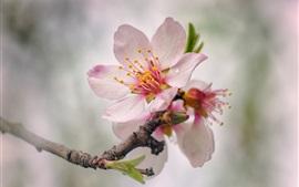 Flores de pêssego rosa florescem, Primavera