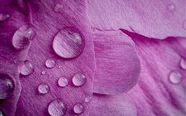 Pétalos de peonía rosa, gotas de agua