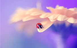 Preview wallpaper Pink petals, ladybug