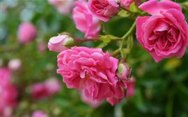 Preview wallpaper Pink roses, flowers, bloom, spring