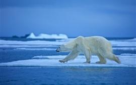 Pé de urso polar, gelo, neve, mar