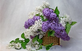 Purple and white lilac, flowers, basket