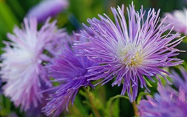 Preview wallpaper Purple flowers, asters, petals, autumn