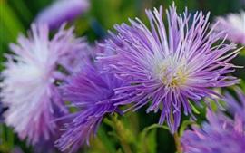 Purple flowers, asters, petals, autumn