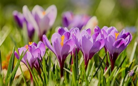 Preview wallpaper Purple flowers, flowering, crocuses, spring