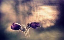 Flores roxas, sono-grama, bokeh