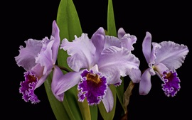 Preview wallpaper Purple orchid, black background