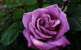 壁紙のプレビュー 紫の花びらがクローズアップ