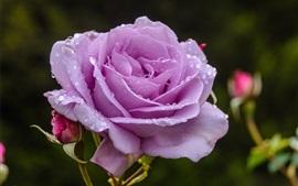 Фиолетовые розы, лепестки, капельки воды