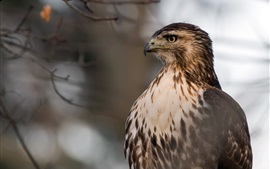 Preview wallpaper Red-Tailed Hawk, head, eyes