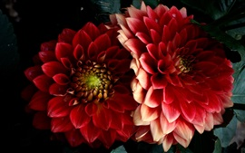 Preview wallpaper Red dahlias, petals, black background