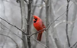 Pássaro de penas vermelhas, árvore, galhos