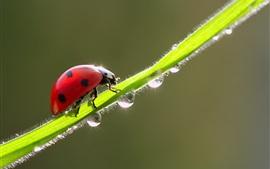 Joaninha vermelha, grama verde, gotas de água