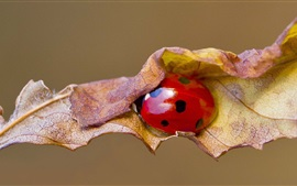 Preview wallpaper Red ladybug, leaf