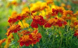 Flores de vermelho-laranja, malmequeres, plantas