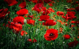 Preview wallpaper Red poppies flowers, spring