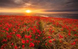 Красное поле цветов мака, утро, восход солнца