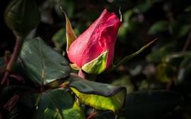 Botão de rosa vermelha, folhas