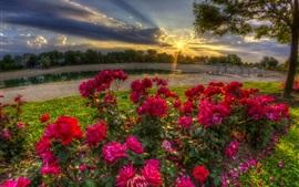 Rosas vermelhas florescem, manhã, raios de sol