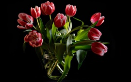 Red tulips, glass vase, black background