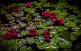 Preview wallpaper Red water lilies, pond, leaves