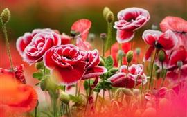 Aperçu fond d'écran Fleurs de pavot rouge-blanc pétales