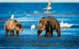 Preview wallpaper Sea, bears, birds