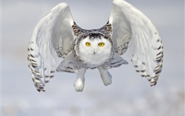 Preview wallpaper Snowy owl, front view, flight, wings