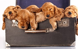 Some brown puppies sleeping in the suitcase
