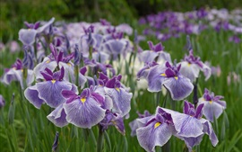 Aperçu fond d'écran Quelques iris, fleurs violettes