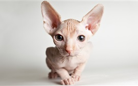 Sphynx cat front view, face, eyes