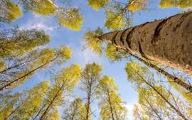 Picea, árboles, hojas amarillas, otoño