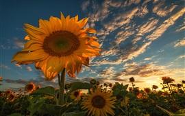 Flores de verão, girassóis, nuvens, luz de fundo
