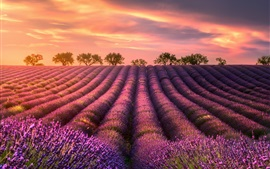 Preview wallpaper Summer, lavender fields, trees, sunset