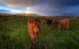 Três, marrom, vacas, capim, prado