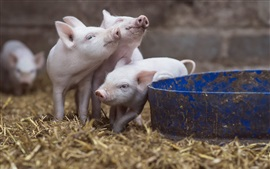 Preview wallpaper Three little pigs