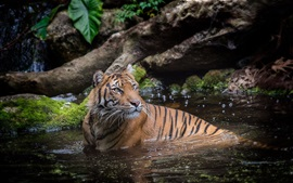 Tiger in water, bathing
