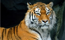 Preview wallpaper Tiger rest, predator, face, eyes