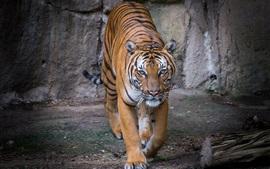 Тигр идет к вам, вид спереди