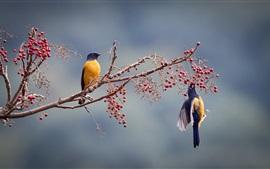 Dois pássaros, bagas vermelhas, árvore