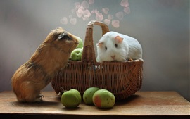 Preview wallpaper Two cute guinea pigs, rodents, apples