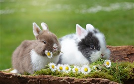 Preview wallpaper Two cute rabbits and chamomile