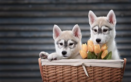 Preview wallpaper Two dogs, husky, basket, tulips
