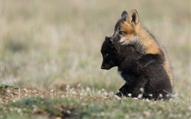Preview wallpaper Two fox cubs play games
