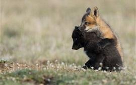 Dois filhotes de raposa jogar