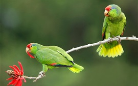 Preview wallpaper Two green parrots, red flower